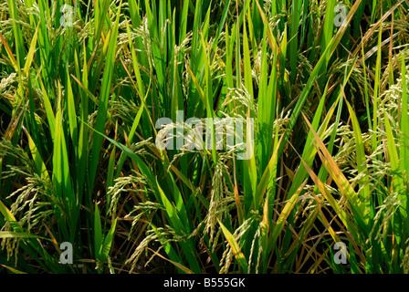 riz paddy Banque D'Images