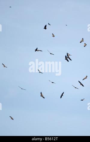 Eurasian Griffon Gyps fulvus vautour de Griffon Gyps rueppellii