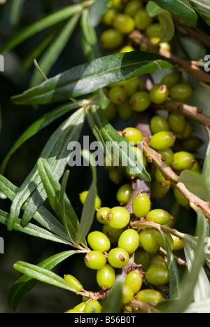 Complet de la direction générale de la matière première ( l'argousier Hippophaë rhamnoides ) berries