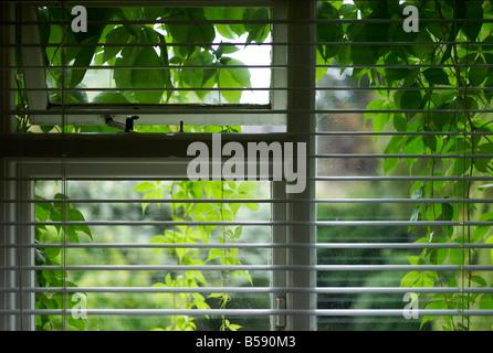 Des stores vénitiens sur une fenêtre qui est couverte à l'extérieur par des feuilles de lierre Banque D'Images