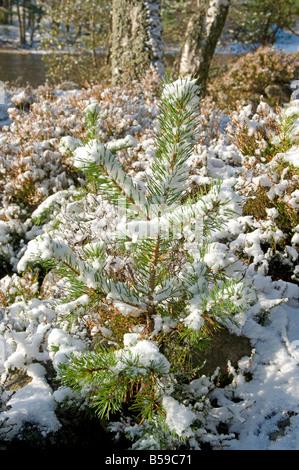 Début de la neige sur les jeunes arbres de pin à Loch an Eilein Rothiemurchus Aviemore Inverness-shire région des Banque D'Images