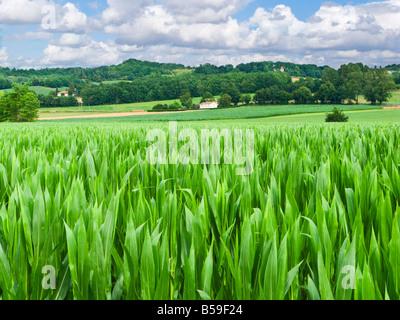 Champ de maïs dans les terres agricoles de l'agriculture en Tarn et Garonne, dans le sud de la France, Europe Banque D'Images