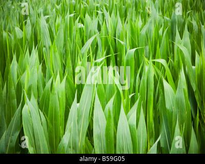 Les cultures de maïs maïs close up Banque D'Images