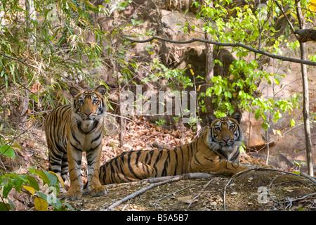 Tigre de l'Inde (Bengale) tigre (Panthera tigris tigris) bâillements, Bandhavgarh National Park, l'état de Madhya Banque D'Images