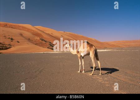 Chameau dans le désert Wahiba Sands, région de Sharqiyah, Oman, Middle East Banque D'Images
