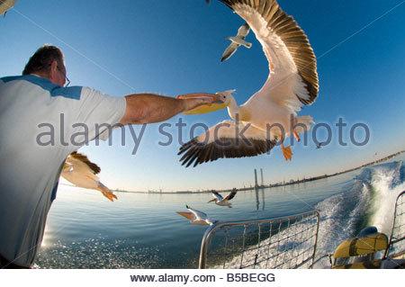 Le capitaine se nourrir des pélicans à bord d'un bateau croisière Dolphin Safaris Mola Mola à Walvis Bay au large Banque D'Images