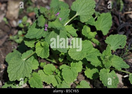 Lamium purpureum LAMIER ROUGE CLOSE UP OF PLANT