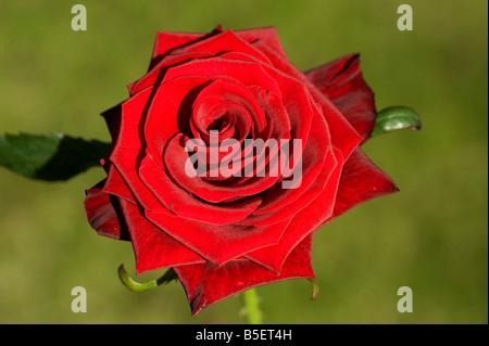 Une rose rouge dans la lumière du soleil Banque D'Images