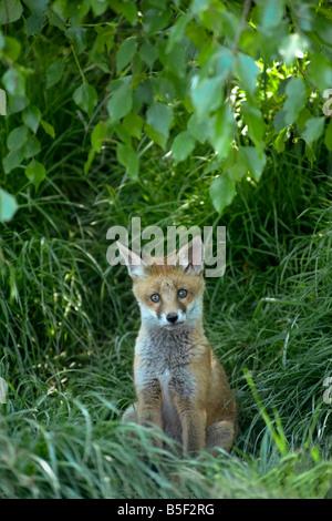 Le renard roux Vulpes vulpes cub près de den entrée avec vestiges d'Hazel châton on head Banque D'Images