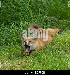 Le renard roux Vulpes vulpes cub et relaxant le bâillement Banque D'Images