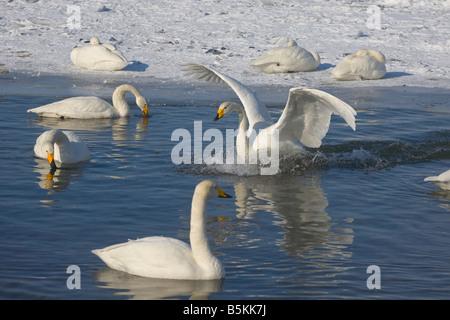 Hokkaido Japon cygnes chanteurs (Cygnus cygnus natation 62 eaux libres de glace d'un lac Mashu Akan National Park Banque D'Images