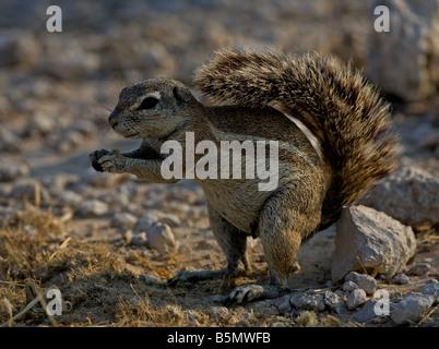 La masse de l'Afrique de l'écureuil dans la partie semi-désertique d'Etosha Banque D'Images