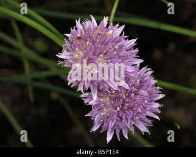 Ciboulette, Allium schoenoprasum Banque D'Images