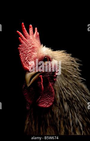 Portrait d'un jeune coq sur fond noir Banque D'Images
