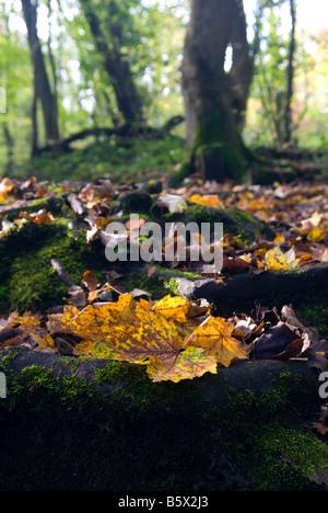 Les feuilles d'automne dans une souche d'arbre dans la vallée de Rivelin Sheffield en Angleterre Banque D'Images