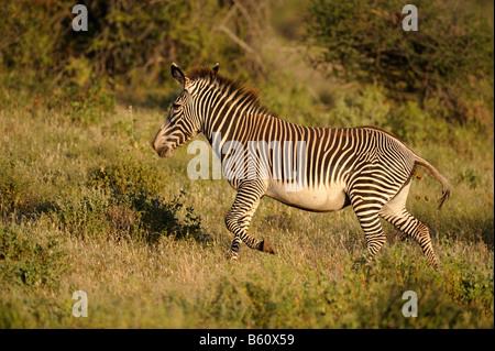 Le Zèbre de Grévy (Equus grevyi), Samburu National Reserve, Kenya, Afrique de l'Est, l'Afrique Banque D'Images
