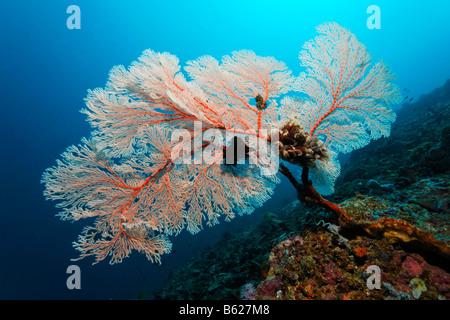 Le Corail Rouge fans dans un récif de corail, de l'avertisseur sonore (Melithea ochracea), Noir, des crinoïdes ou Banque D'Images