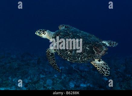 Véritable tortue imbriquée (Eretmochelys imbricata) Nager dans l'eau bleue au-dessus de la barrière de corail, Hopkins, Banque D'Images