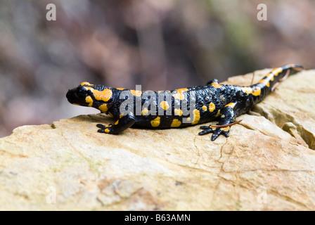 Salamandre Terrestre Européen (Salamandra salamandra) sur rock Banque D'Images