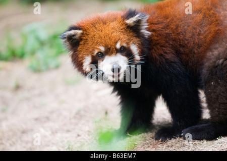 Panda du Sichuan Chine Réserver site du patrimoine mondial de l'UNESCO Banque D'Images