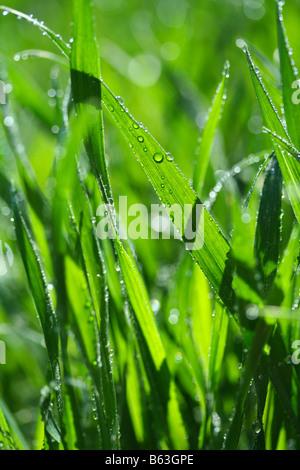 De l'herbe avec des gouttes. Triticum vulgare Banque D'Images