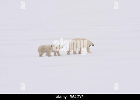 Mère ours polaire avec deux 1 ans d'oursons Banque D'Images