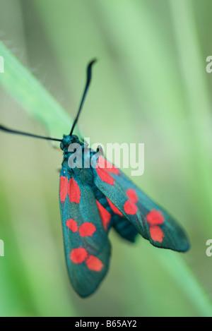 Six-spot burnet moth (zygaena filipendulae) perché sur brin d'herbe