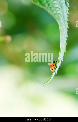Ladybug ramper jusqu'feuilles incurvées