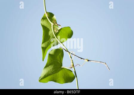 Deux feuilles en forme de cœur qui poussent sur la vigne Banque D'Images