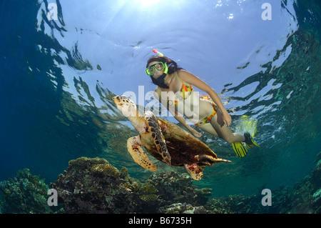 La tortue imbriquée Eretmochelys imbricata et Reef Marsa Alam Egypte Mer Rouge Banque D'Images