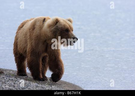 Un brun de l'Alaska ou l'ours grizzli (Ursus arctos) promenades le long de la rive du lac Naknek près de la Brooks Banque D'Images