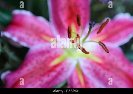 Tiger Lily rose Stargazer Banque D'Images