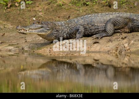 Blanc, commune ou CAÏMAN À LUNETTES Caiman crocodilus Banque D'Images