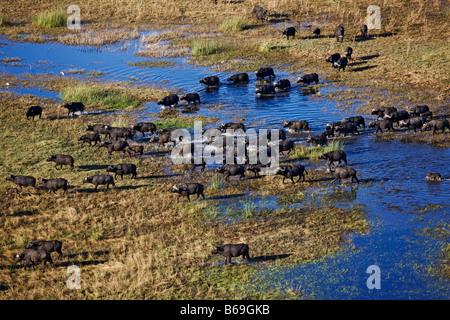 Vue aérienne de buffle Syncerus caffer sur le delta de l'Okavango au Botswana Banque D'Images