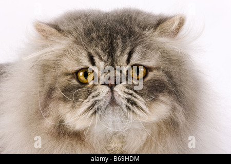 Chat domestique Blue spotted Tabby Persan Studio shot against white background Banque D'Images