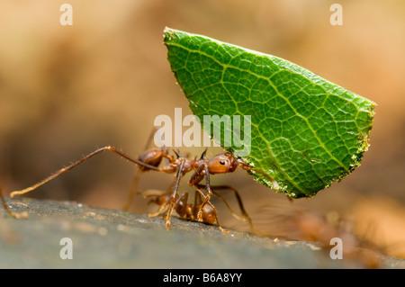Coupeuses de feuilles feuille comptable fourmis Atta sp. Forêt Amazonienne Banque D'Images