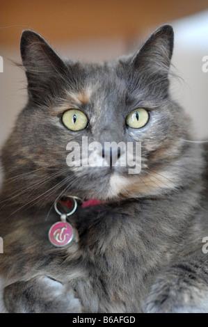 Un jeune chat bleu russe est assis regardant fixement vers l'appareil photo Banque D'Images