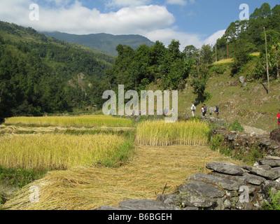 Les randonneurs passent les champs de riz dans la vallée de la rivière Bhurungdi entre Birethanti et Ulleri dans le pied de l'Annapurna, Népal