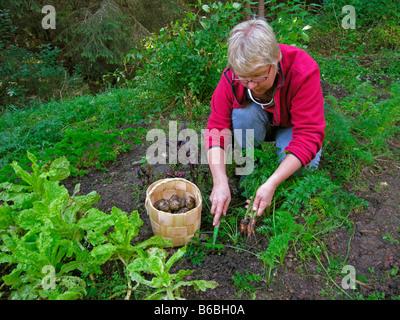 Cueillette d'agriculteurs dans le champ radis