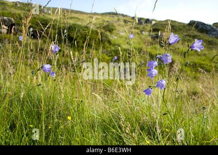 Harebells (Campanula rotundifolia) développe à Spittal of Glen Muick, Ballater, Aberdeenshire, Scotland Banque D'Images