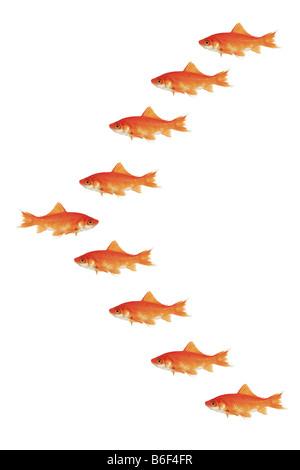 Le carassin, la carpe commune (Carassius auratus), beaucoup de natation goldfishes dans V, l'une en sens inverse Banque D'Images