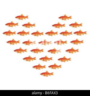 Le carassin, la carpe commune (Carassius auratus), de nombreux goldfishes nager dans la formation du coeur Banque D'Images