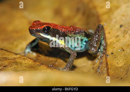 Optimiste, la grenouille Poison Poison Zaparas Frog, Rana ou Venenosa (Allobates zaparas) dans les forêts tropicales Banque D'Images