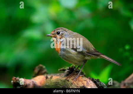 European Robin (Erithacus rubecula aux abords) Banque D'Images