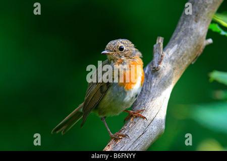 Jeune européen Robin (Erithacus rubecula aux abords), plumage rouge partiellement Banque D'Images
