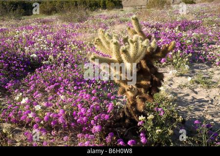 - La Californie Cholla cactus dans un champ de dunes de sable verveine et l'onagre Coyote Canyon Anza Borrego Desert Banque D'Images