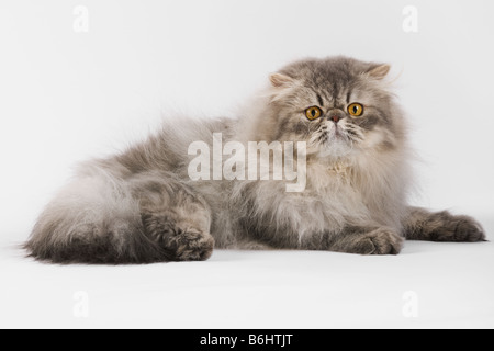 Chat domestique Blue spotted Tabby Persan Studio shot against white background