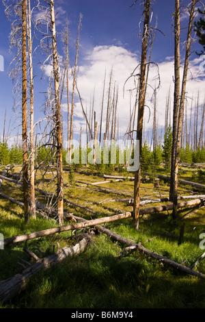 Le parc national de Yellowstone au Wyoming USA - arbres morts dans la région du lac Riddle