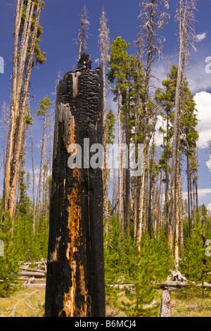 Le parc national de Yellowstone au Wyoming USA - souche d'arbre calcinés en forêt dans la région du lac Riddle