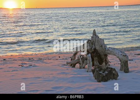 Racine de l'arbre du bois flotté sur la plage donnant sur le golfe du Mexique bleu l'eau et le soleil sur l'horizon d'orange, et coastl